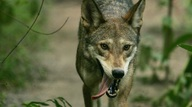 Red Wolf Panting