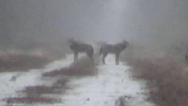 Two Red Wolves Standing in Winter