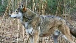 Red Wolf Standing