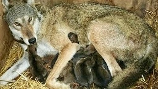 Red Wolf Mother with Litter of Pups