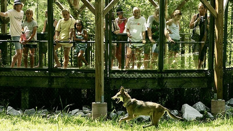 Human Crowd Watching Red Wolf Running