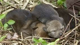 Red Wolf Pups Sleeping